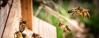 Essaims d'abeilles chez votre voisin :